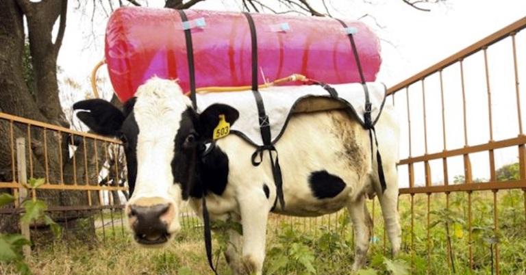 cow-fart-backpacks